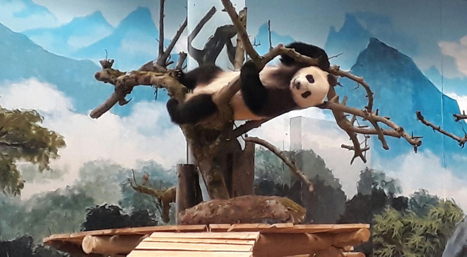 De Eerste Week Van Xing Ya En Wu Wen Ouwehands Dierenpark