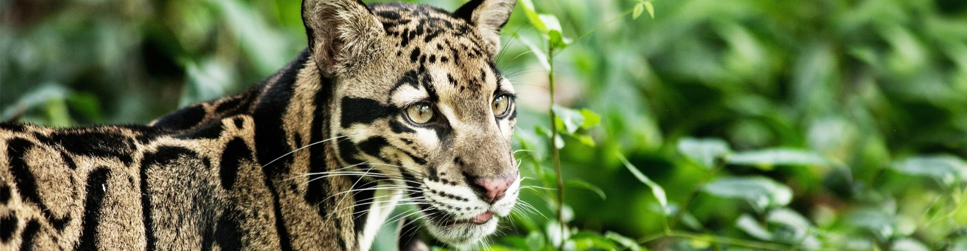 banner New...  Clouded leopards!