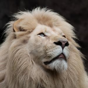 Leeuw afbeelding